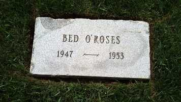 Bed O' Roses was owned and bred by Sagamore was inducted into the National Museum of Racing and Hall of Fame in 1976.