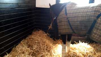 """""""I wouldn't be surprised some day to see him run in Churchill Downs, and by some day, I mean 2013. This horse is magnificent,"""" Pete Gilbert said about Hungry and Humble."""
