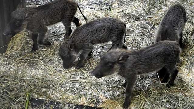 Kijani, like all male warthogs, will not participate in rearing his offspring, and is living separately from Kumari and the babies. (Photo courtesy the Maryland Zoo in Baltimore)