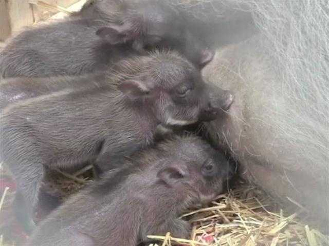 The piglets' names areVirginia, Honey, Mabel and Memphis.