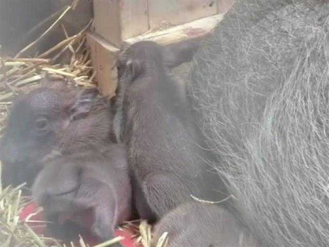 This is the second litter for Kumari, the 7-year-old female warthog.