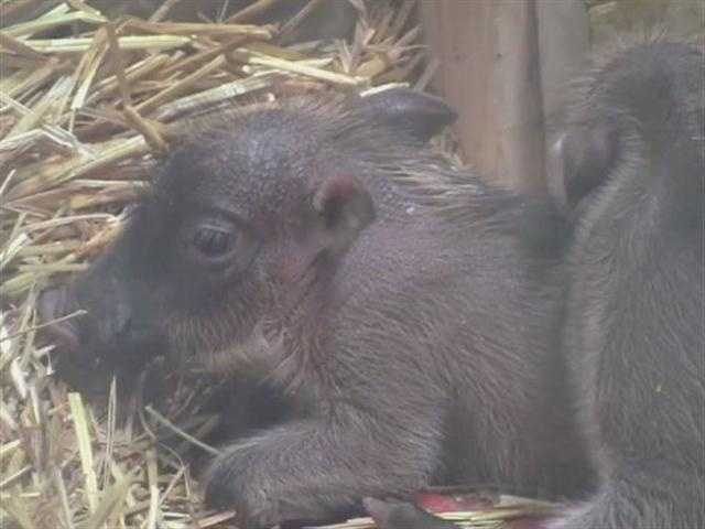 The Maryland Zoo in Baltimore welcomes four newborn warthog piglets.
