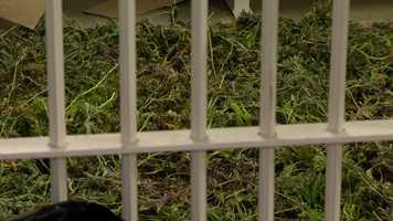 """They found a major marijuana grow operation inside our suspicious residence,"" county police spokeswoman Sherry Llewellyn said."