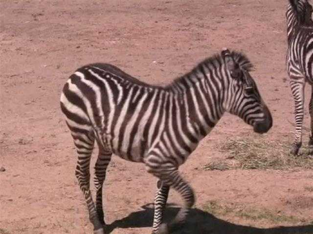 They're also being introduced to the other female zebras behind the scenes.
