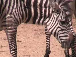 The zebra will made their public debut on May 11.