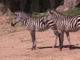 Eventually, the zebra foals will be on exhibit with the other zebra, ostrich and rhinos.