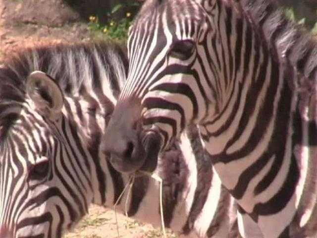 It may be some time before the new zebra are comfortable with the other animals of the Watering Hole.