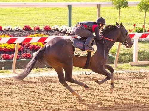 Tiger Walk takes to the track Sunday morning. |Jim McCue\Maryland Jockey Club
