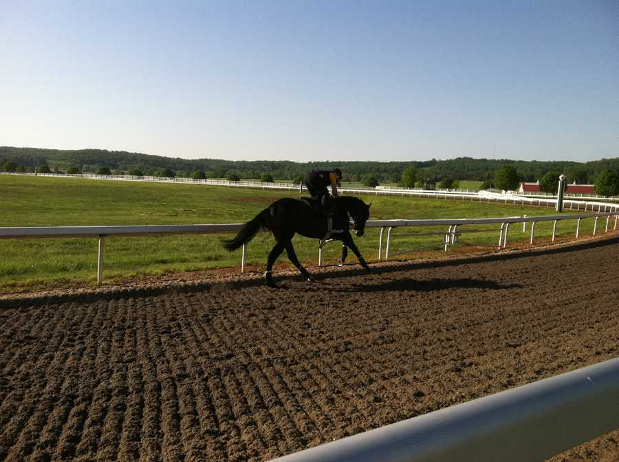 "At Sagamore Farm in Glyndon, Baltimore County, 3-year-old colt ""Tiger Walk"" does his daily workout consisting of two laps galloping around the 3/4-mile track."