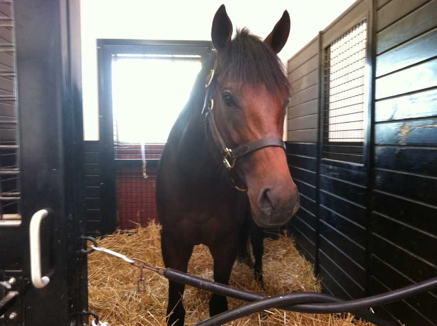 """At Sagamore Farm in Glyndon, Baltimore County, 3-year-old colt """"Humble and Hungry"""" will be running in the Dixie Stakes on Preakness Day. 