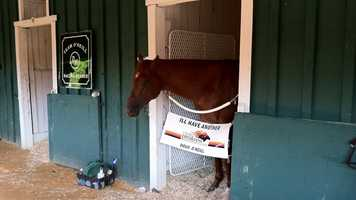 I'll Have Another the day after winning the 137th Preakness.