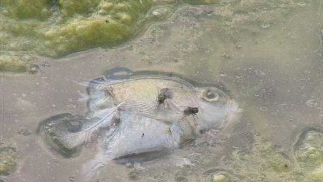 Nearly two dozen blue gill sun fish are dead in the Patterson Park Boat Lake.