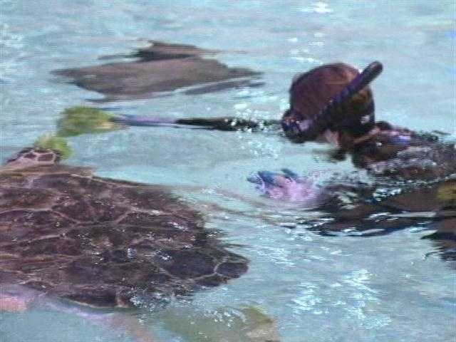 The Wings in the Water exhibit is shutting down for repairs and renovations, but before the tank is drained, 11 News reporter Jennifer Franciotti got a chance to swim with the stingrays and the three-finned sea turtle named Calypso.