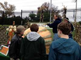 The guys cut into the big pumpkin from central Pennsylvania using power saws.