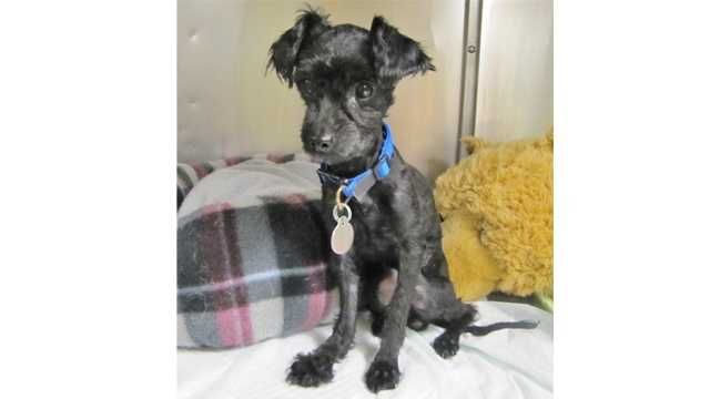 Mopsy, a 4-year-old 5 pound miniature poodle, was brought to the Maryland SPCA after being found on the side of the road in Baltimore.