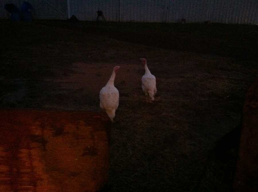Ava says these two turkeys, who she named Bonnie and Clyde, tried to escape.