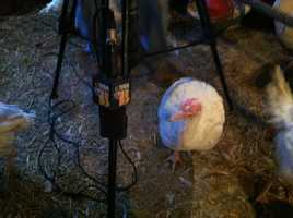 The turkeys tried to infiltrate the equipment.
