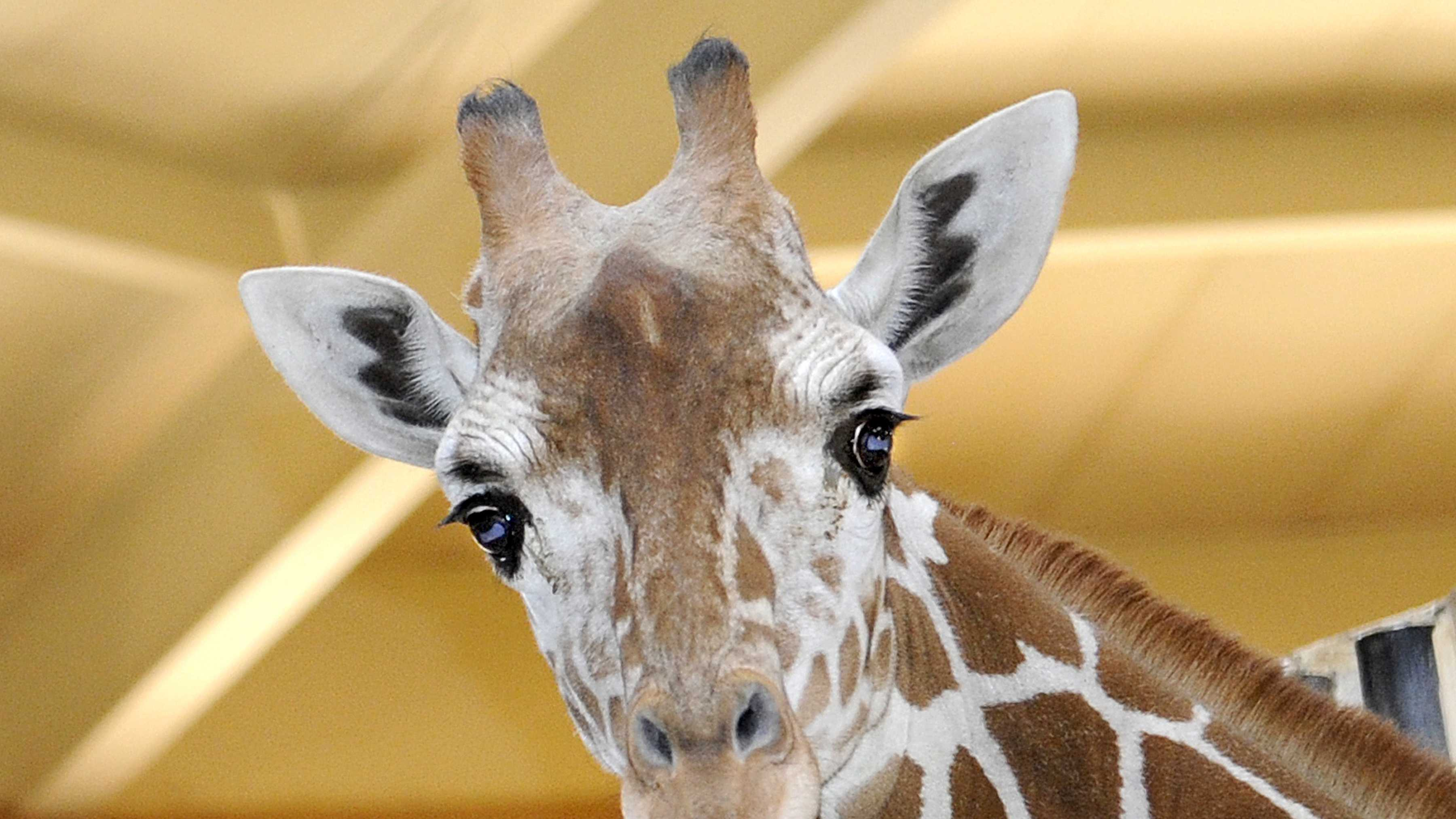 Kesi, a 2-year-old reticulated giraffe, is making her debut at the Maryland Zoo in Baltimore.