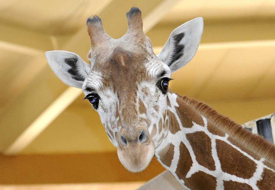 Kesi, a 2-year-old reticulated giraffe, makes her debut at the Maryland Zoo in Baltimore, along with a new lioness. See more of them.