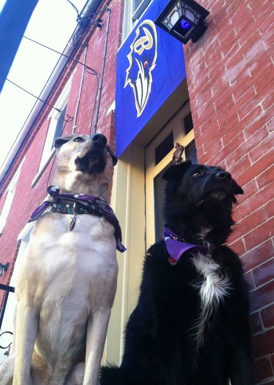 Bobo and Aspen are ready!!! GRRRRRRR.... GO RAVENS!!!
