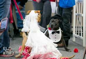 Tippy the Tank, a black-and-white terrier and American Staffordshire mix, marries his bride, who was sniffing pink-and-red glittered hearts scattered about the floor.