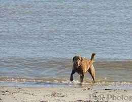 The Chesapeake Bay Retriever is the state dog
