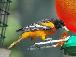 TheBaltimore Oriole is the official state bird. Lawmakers in 2013 were considering a bill to add the Raven also.