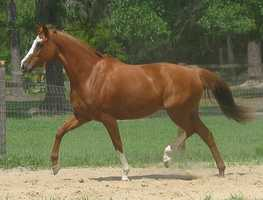 The state horse is a thoroughbred.
