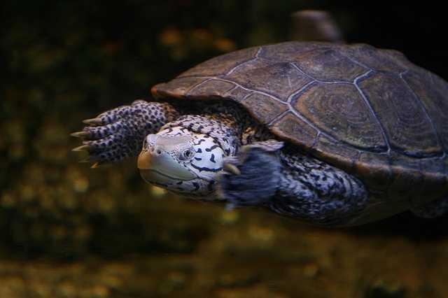 TheDiamondback terrapin is the state reptile