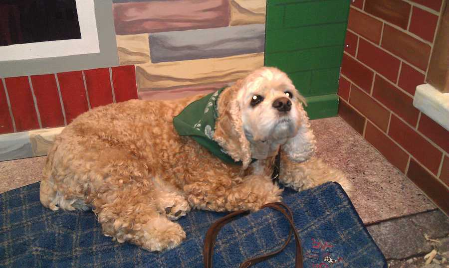 Gabby, a 6-year-old American cocker spaniel, has been a trained therapy dog since she was 1. Read the story.