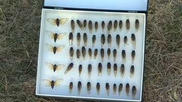 The Brood II cicadas, which are unique to the eastern United States, haven't been around since the Ramones were still together and President Bill Clinton was serving his first term in office.