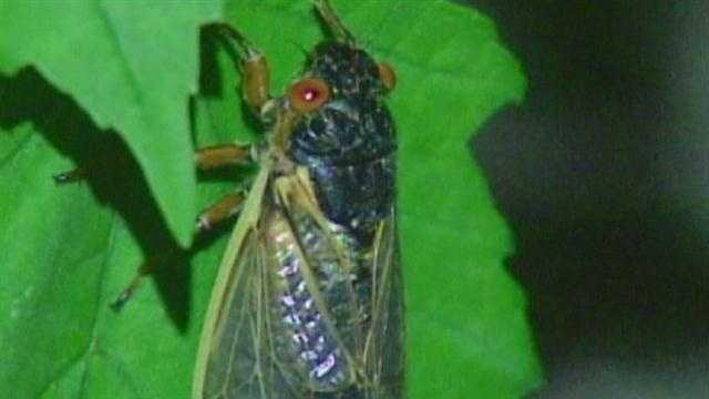 The cicadas should hit in mid-April to late May from Georgia to Connecticut.