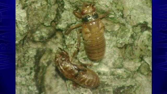 See videos from the 11 News archives when the cicadas last came out in Maryland here.