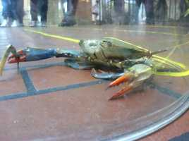 WBAL-TV 11 Sports' Pete Gilbert again participates in the annual Preakness Crab Derby. Here's his entry this year!