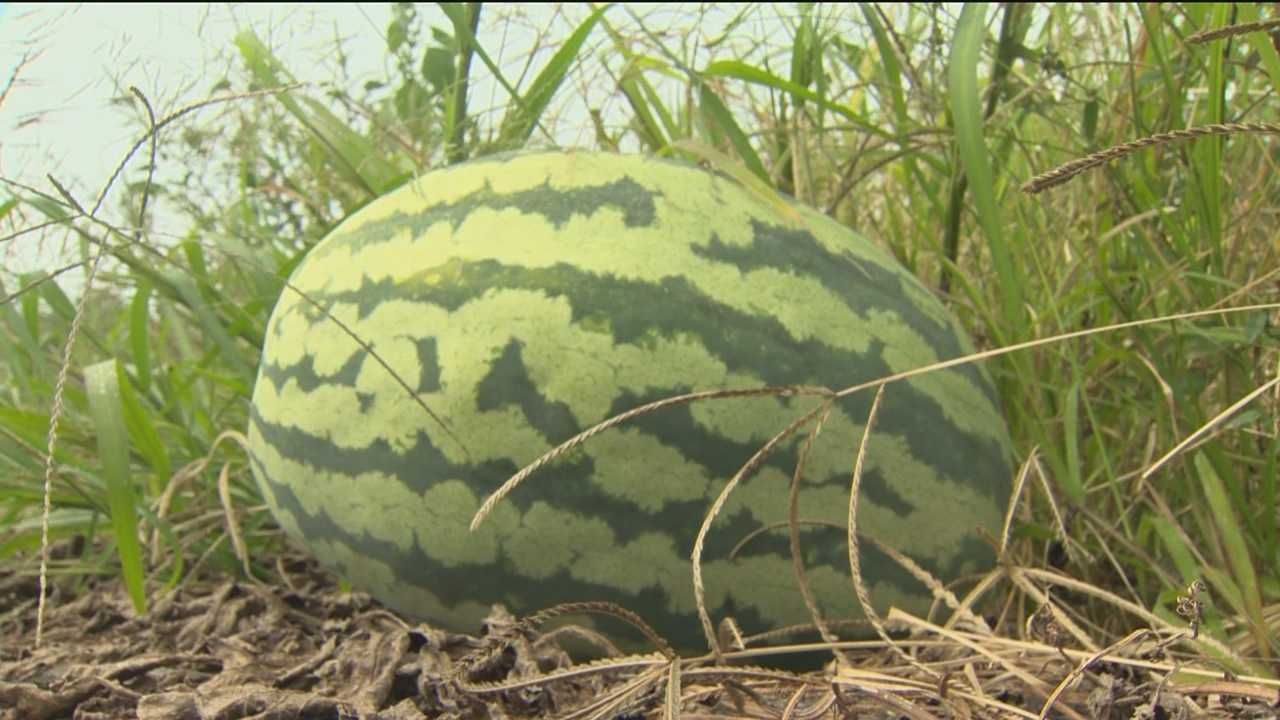 Authorities in Harford County are trying to figure out who stole a prized 150-pound watermelon from a man in the town of Street.
