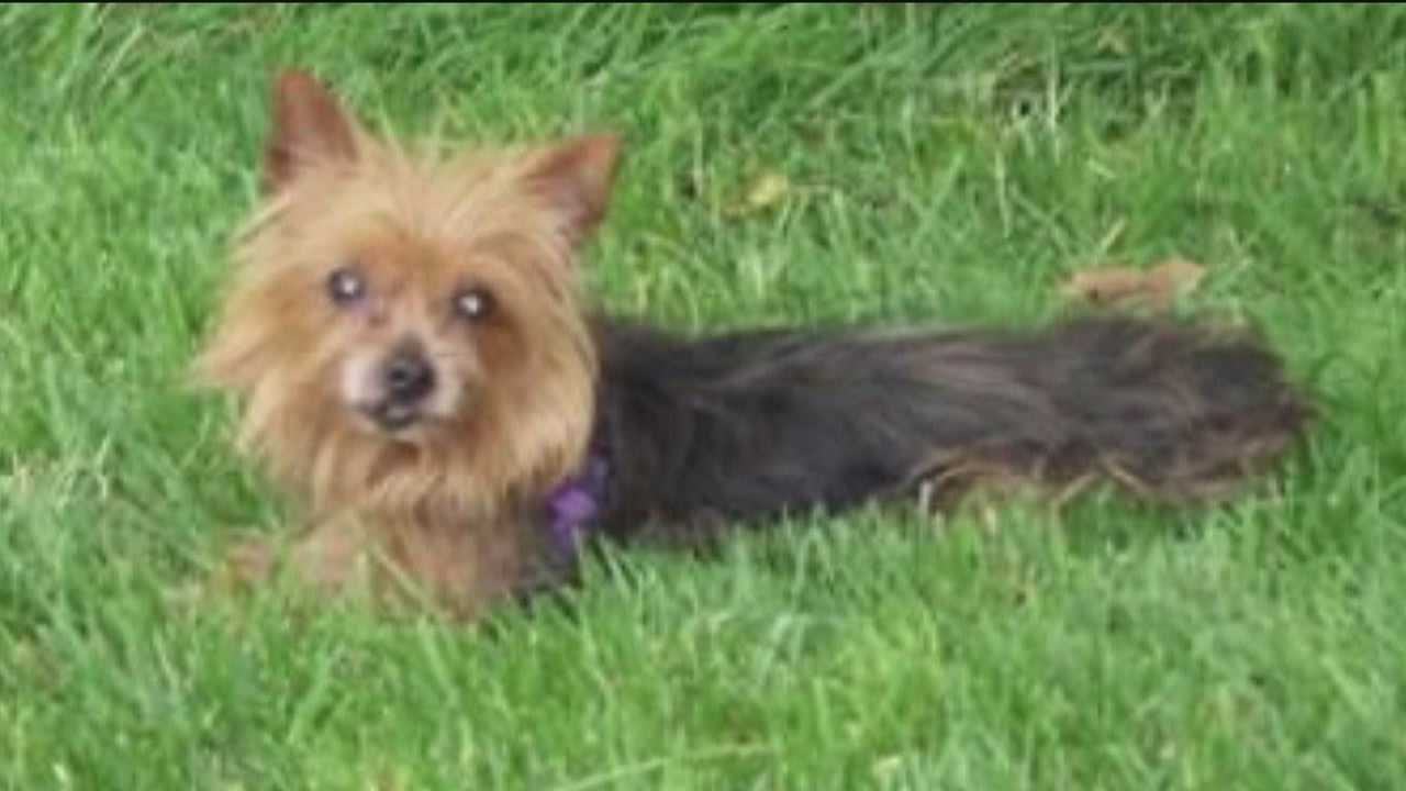 A violent pit bull attack in Reisterstown ends with a Yorkshire terrier dead, its owners badly bruised and bloodied and the pit bull locked up in animal control.
