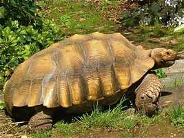 Alexandra Roosevelt tells 11 News her huge African Spur Thigh tortoise, aptly named Tortley, disappeared from the back yard of her Homeland area house.