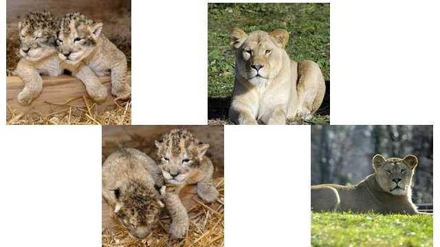The Maryland Zoo in Baltimore is celebrating the birth of two lion cubs but mourning the loss of two of their siblings and their mother, who died from birth complications.