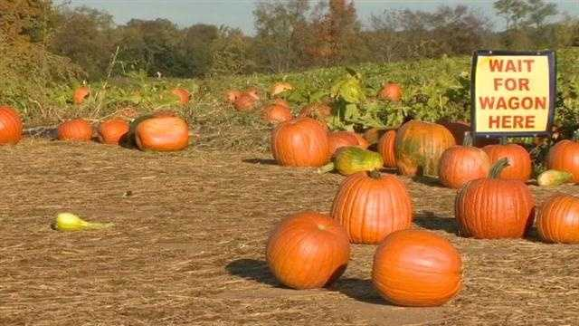 Area pumpkin farmers are experiencing a good crop including Baugher's Pick Your Own Orchard in Westminster.
