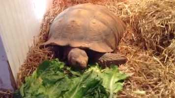 UPDATE: Tortley's owner reports on Nov. 15 that the tortoise was found safe and sound in a supply closet.