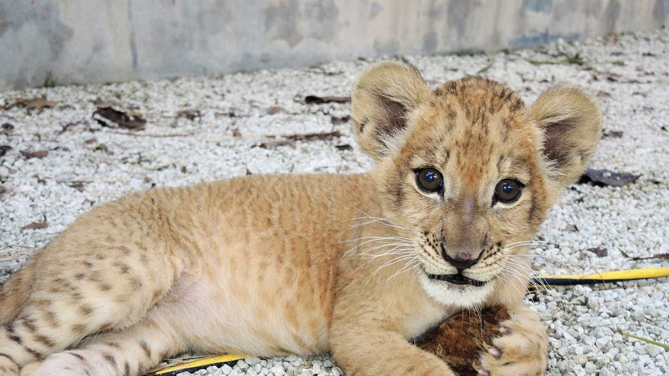 The Maryland Zoo welcomes a new lion cub named Zuri from Zoo Miami.