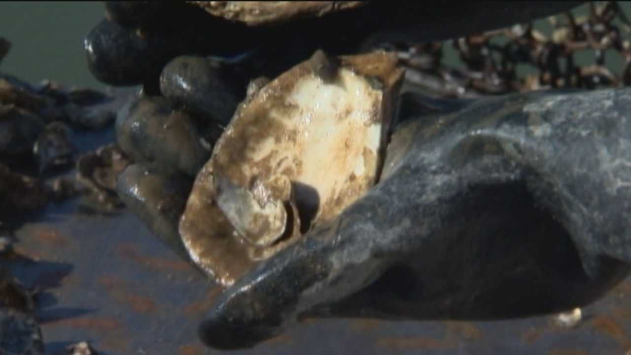 Fossilized oyster shells to help restoration efforts