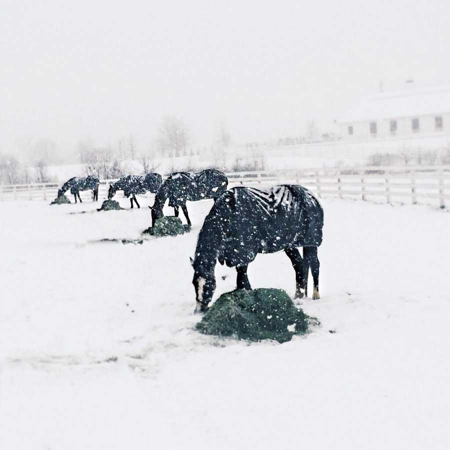 Horses at Sagamore Farm in Glyndon enjoying the wintry weather!