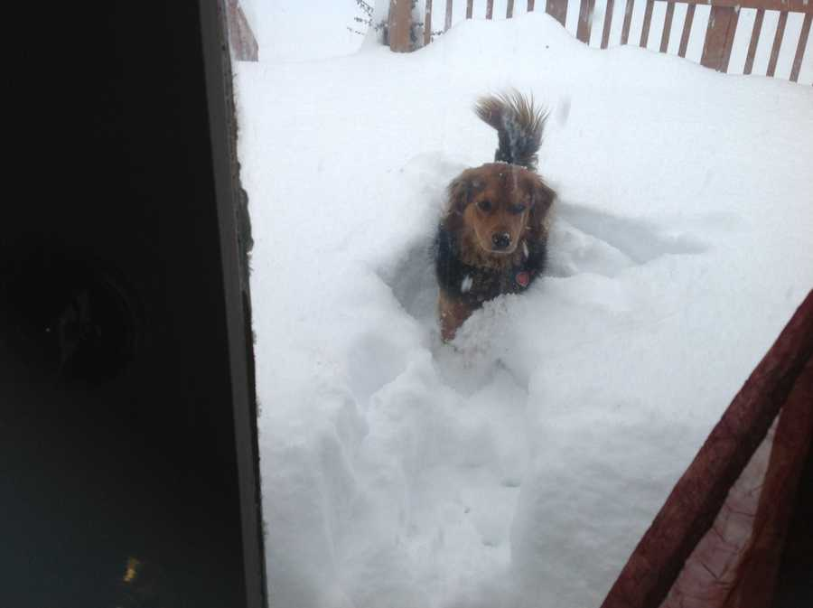 Jennifer Franciotti's dog, Leila, in the snow in Westminster
