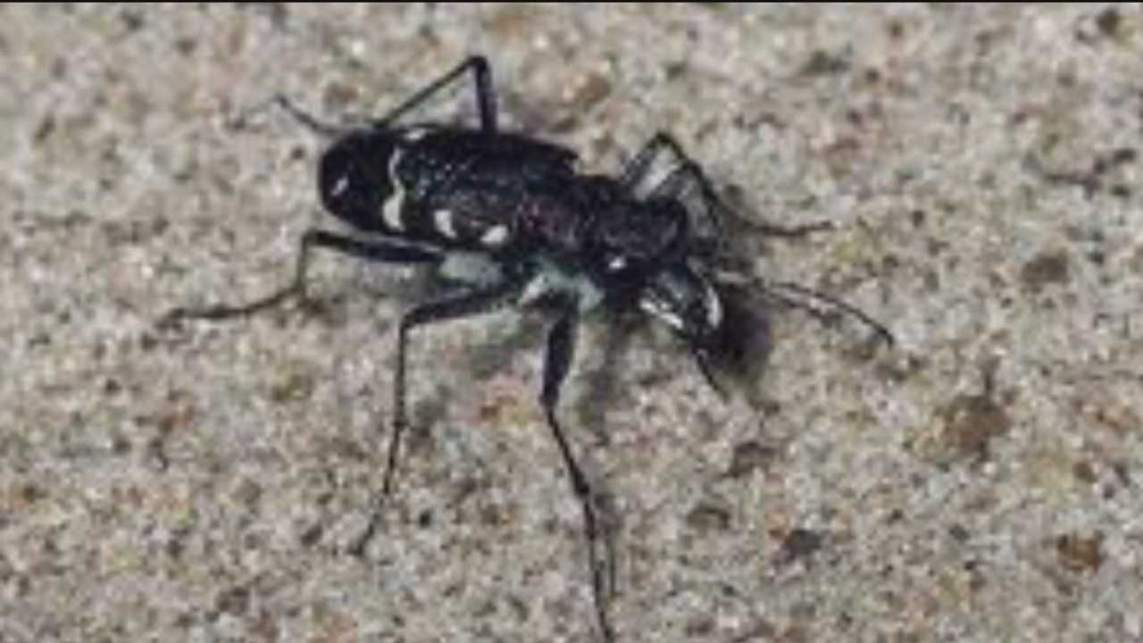 The puritan tiger beetle is an endangered species that can be found in only two places in the world