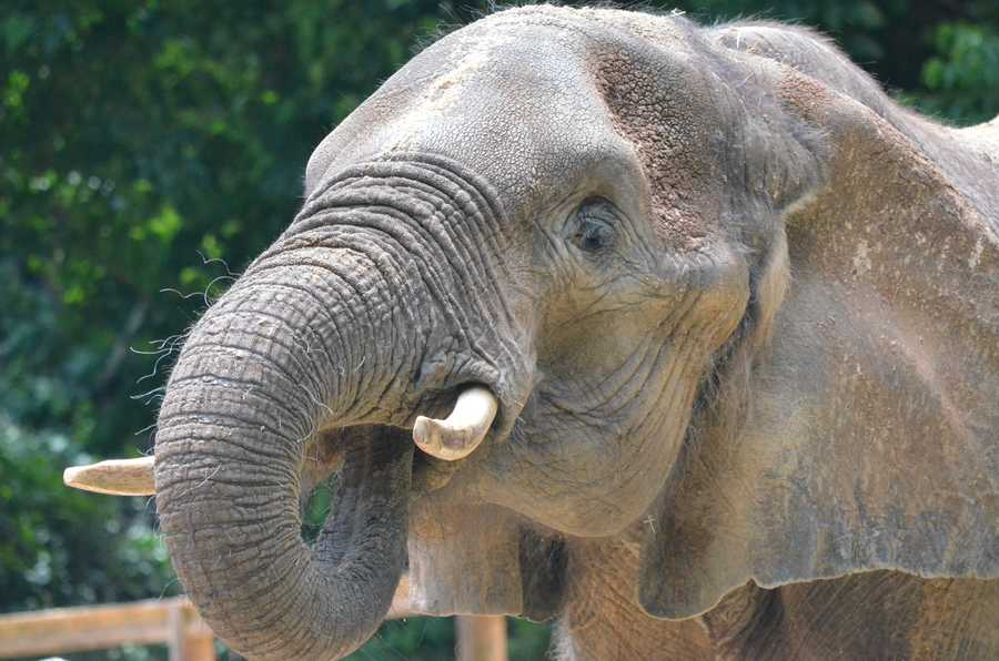 Dolly was part of the zoo's African elephant heard for more than 30 years.  She was humanely put to sleep Sunday, zoo officials say.