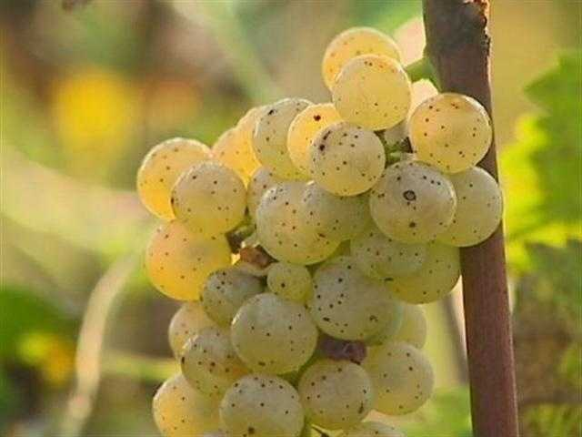Favorite fruit: green grapes