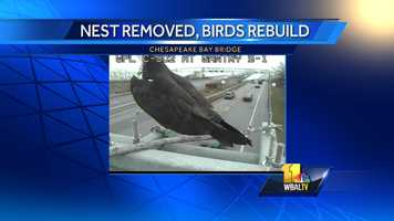 Maryland transportation officials say they're considering building a nesting platform for ospreys who insist on building and rebuilding nests in front of a traffic camera pointed at the Chesapeake Bay Bridge.