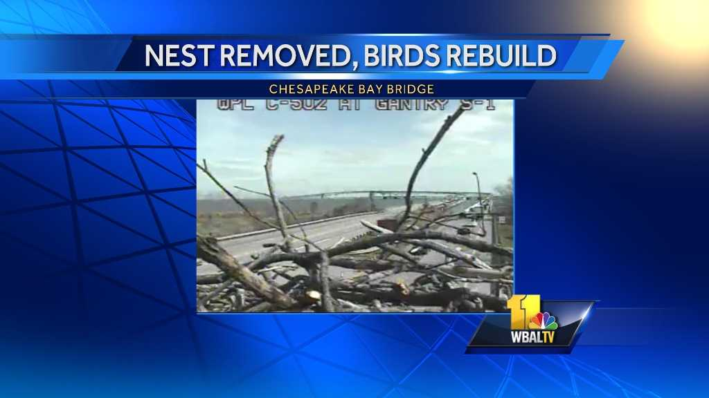 The Maryland Transportation Authority tweeted Wednesday that it is consulting with engineers about a platform after removing nests over Route 50 three times.