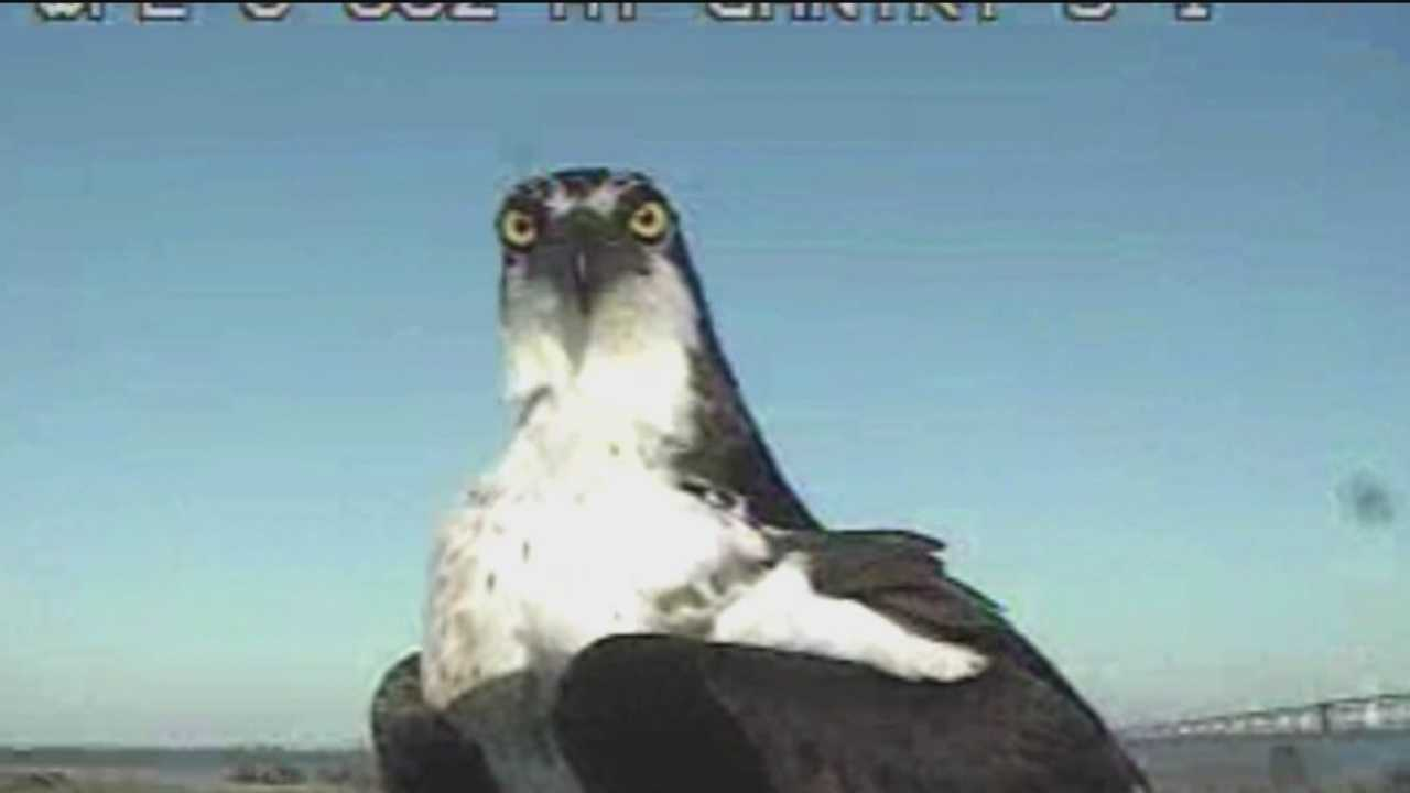 There was standoff Wednesday between the state of Maryland and Osprey, but Maryland has brokered a truce with the bird.